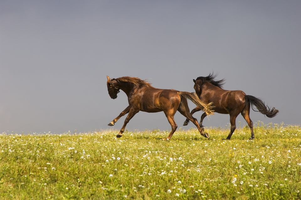 Horses Running with Spirit in Open Field, Playing
