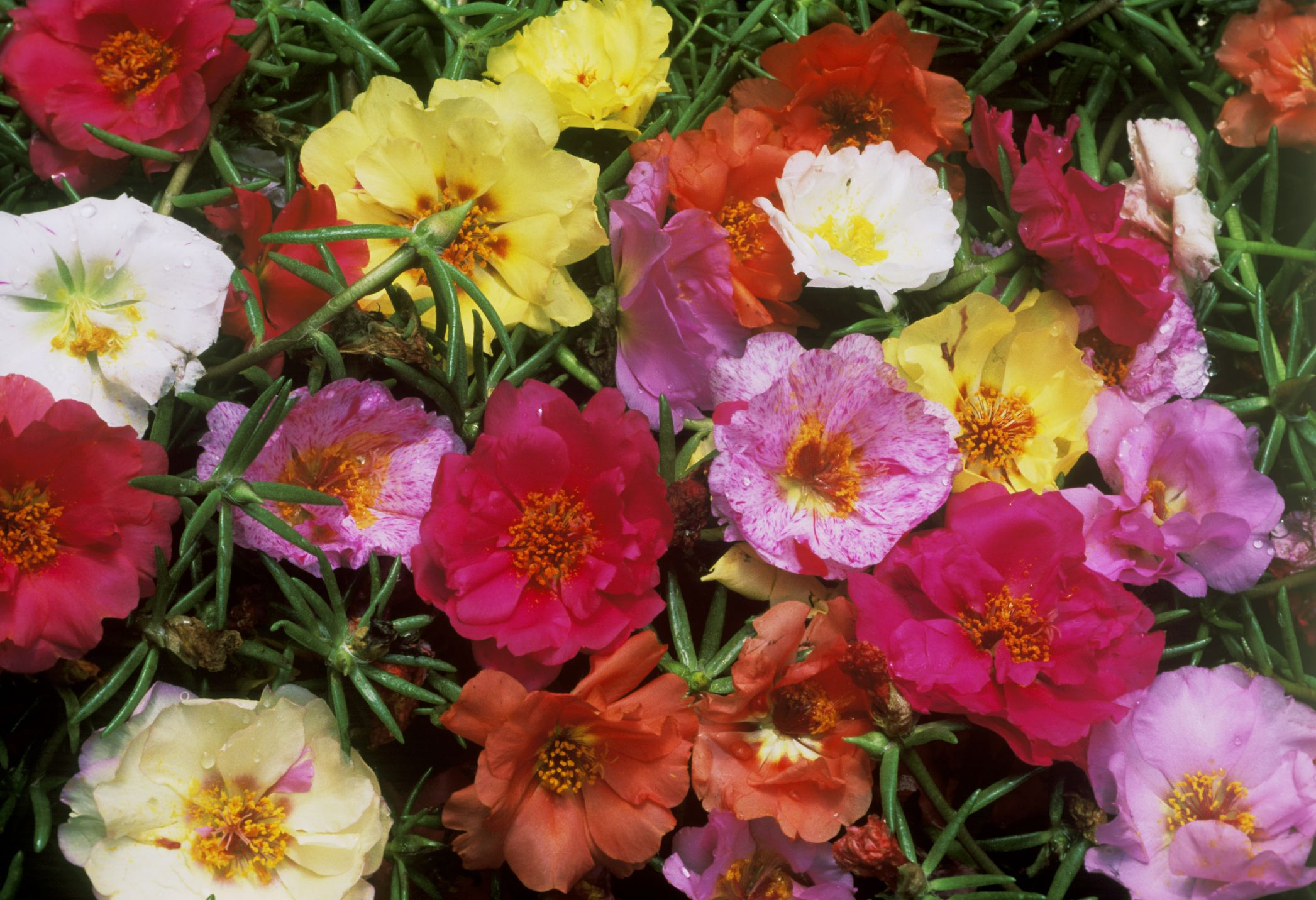 Growing Portulaca The Moss Rose Flower