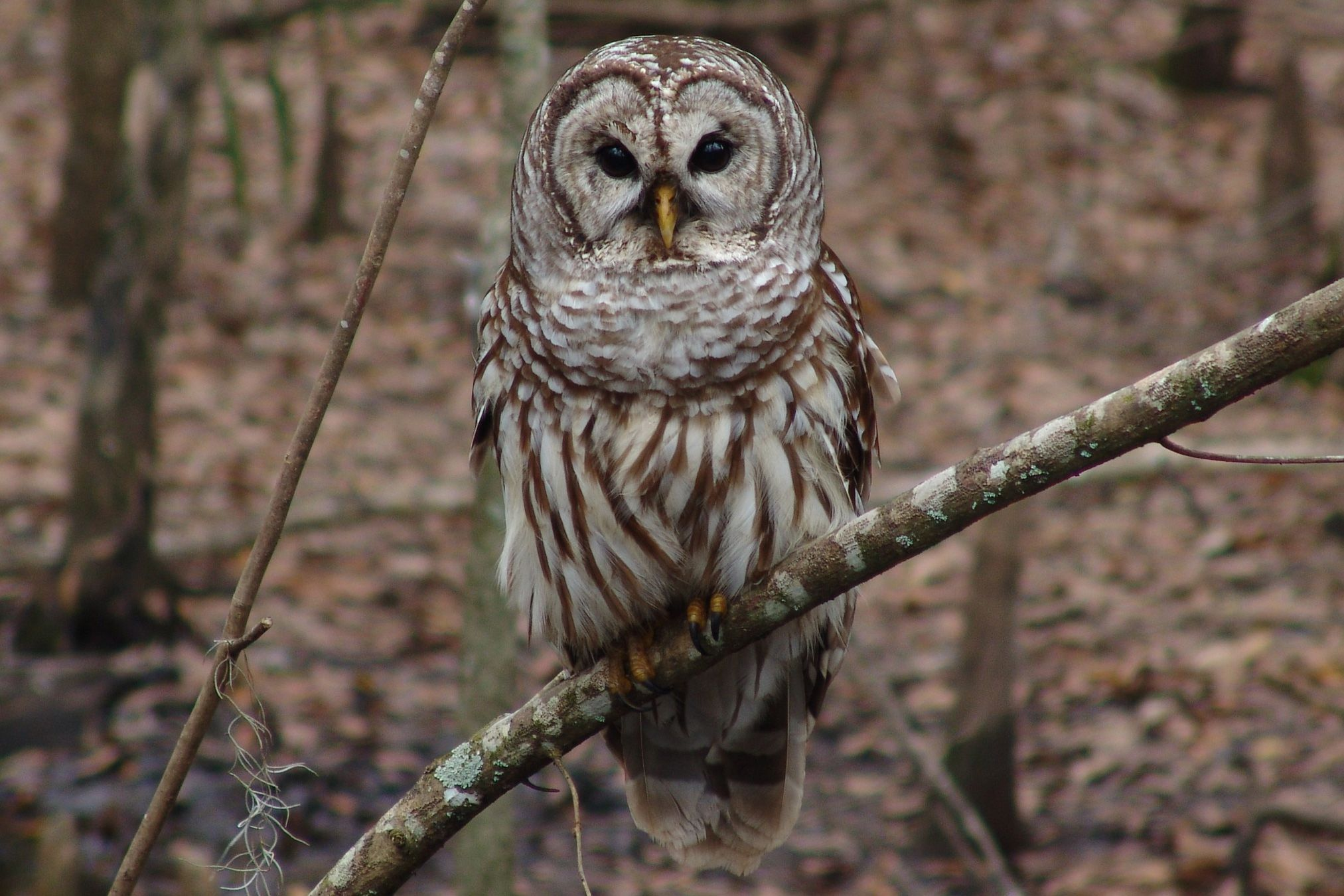 20 fun facts about owls bird trivia easy on the spot owl identification tips biocorpaavc