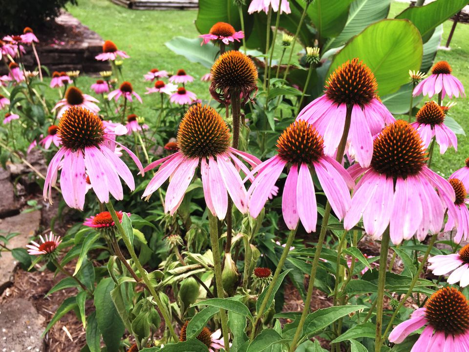 Purple Coneflowers (Echinecea)