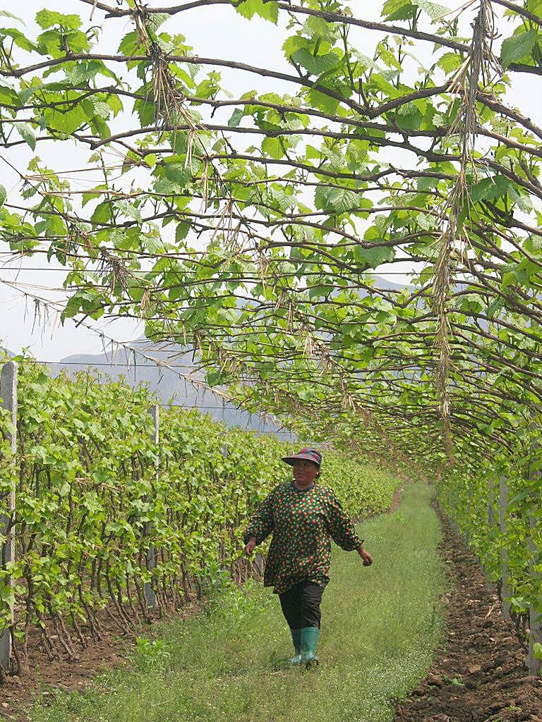 Chinese Vineyards
