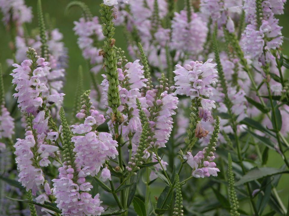 Physostegia virginiana (Obedient Plant)