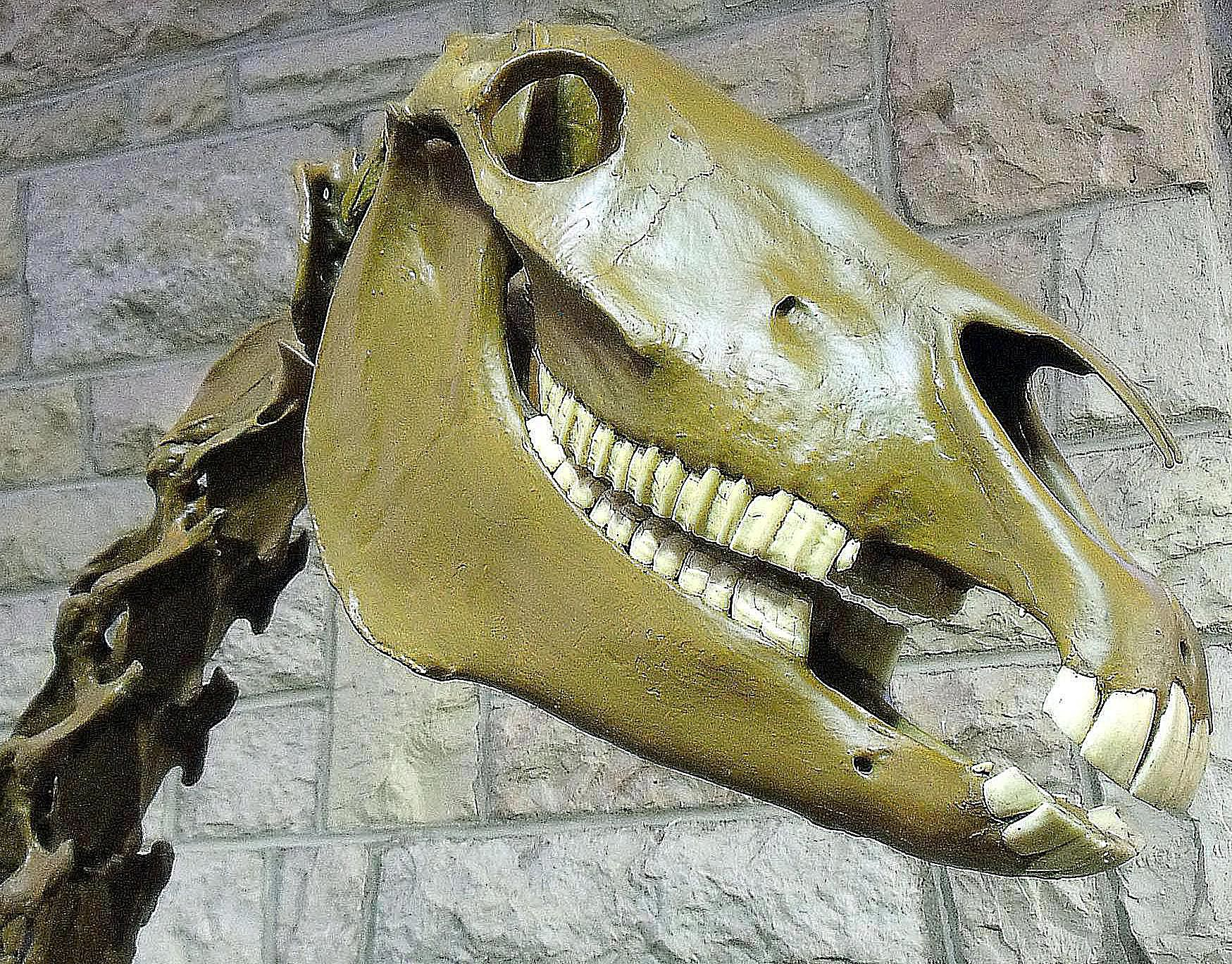 Pictures And Profiles Of Prehistoric Horses