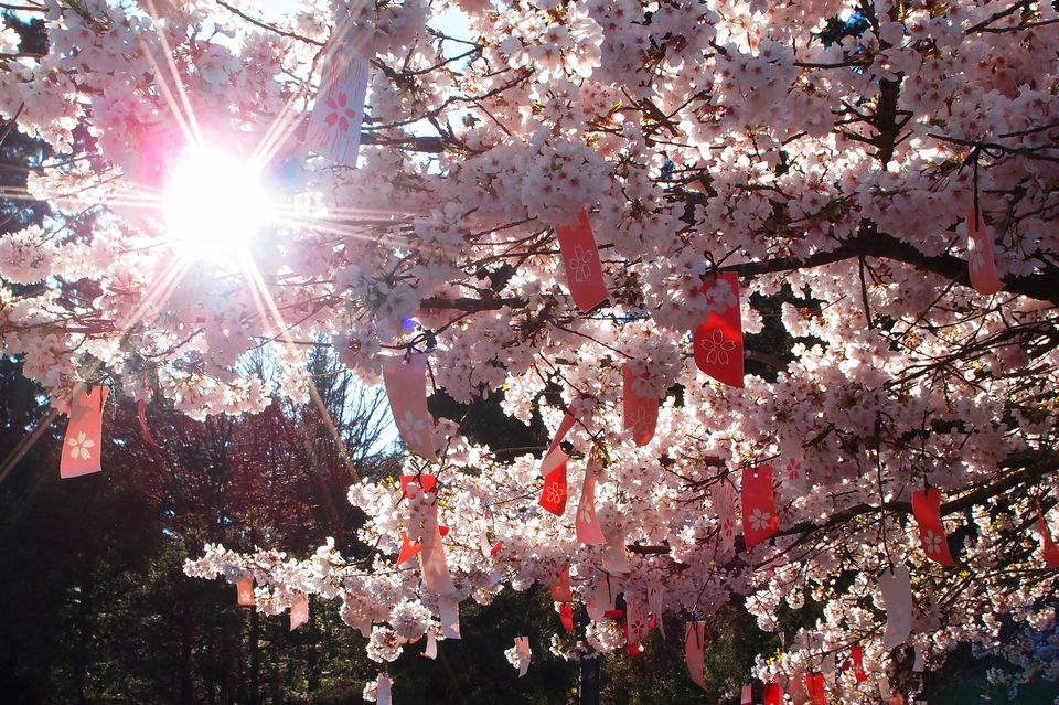 Wish tags in a cherry blossom tree