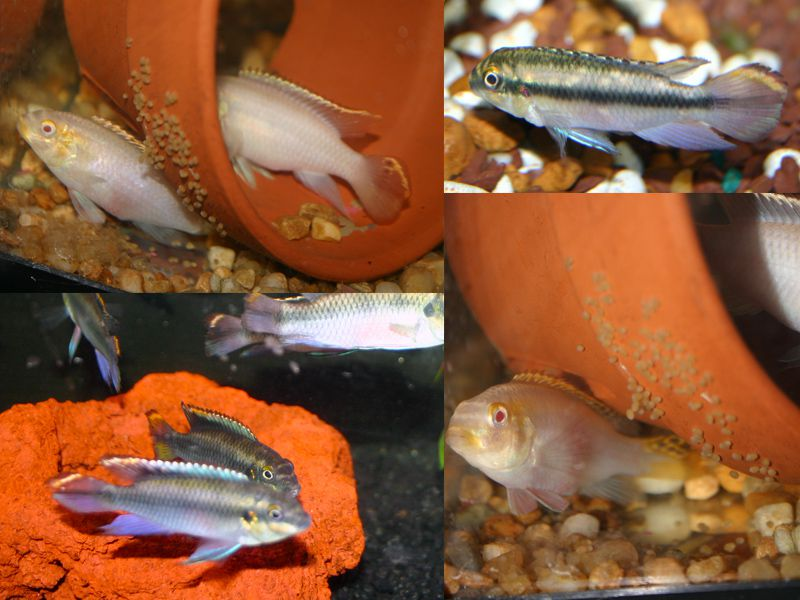 Breeding Kribensis, Pelmatochromis AKA Dwarf Rainbow Cichlid
