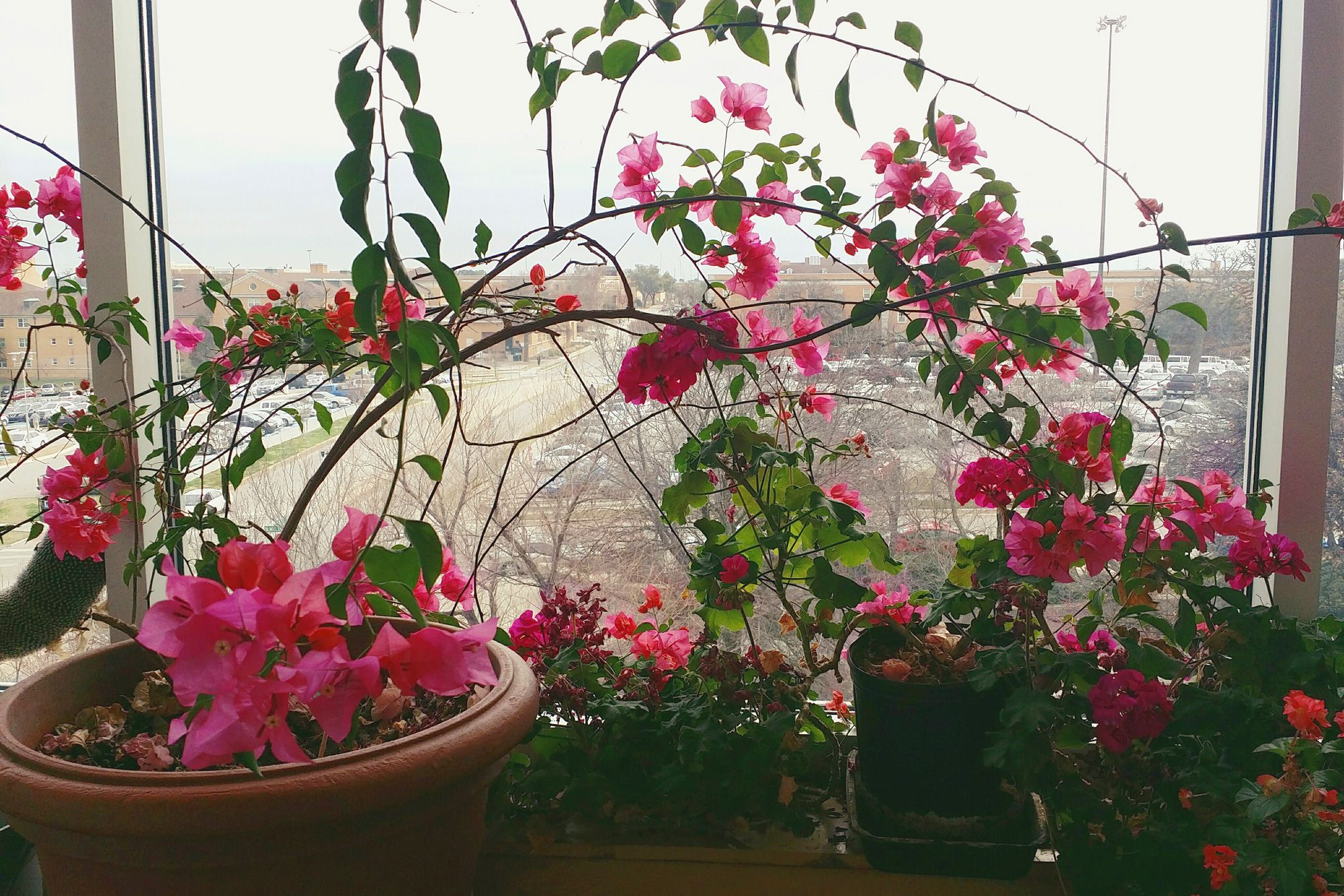 How To Grow Bougainvillea As A Houseplant