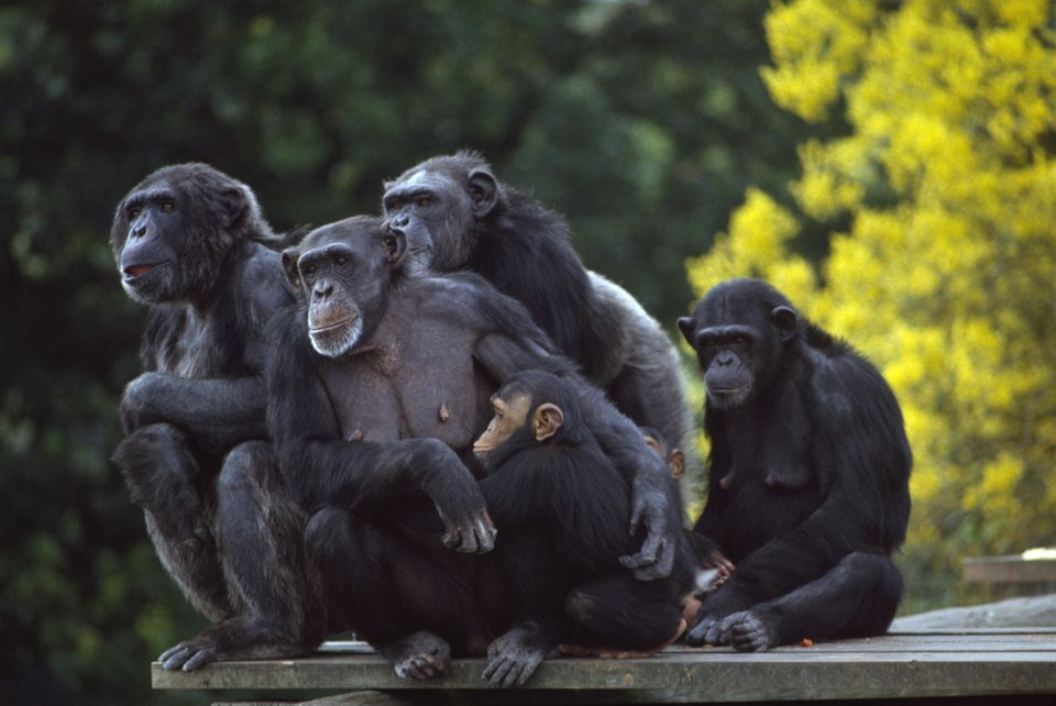 Chimpanzees, Dublin Zoo, Phoenix Park, Dublin, Ireland