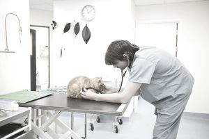 Veterinarian examining cat