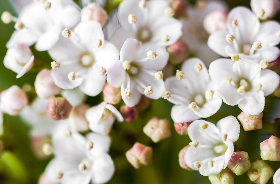 Filler flowers for wedding bouquets wax flowers white geralton wax shrub mightylinksfo Choice Image