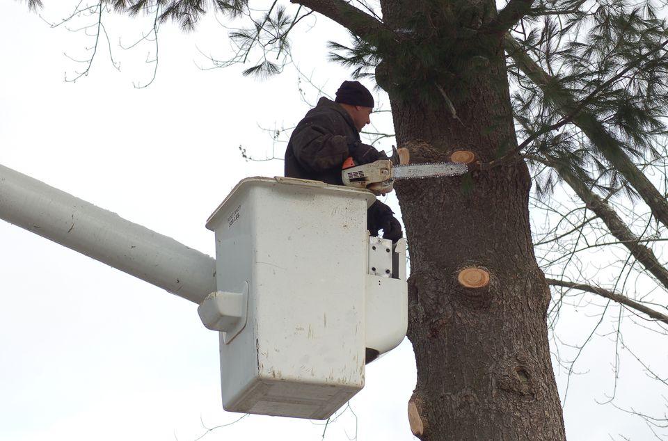 Image: a professional from a tree service limbing a tree.
