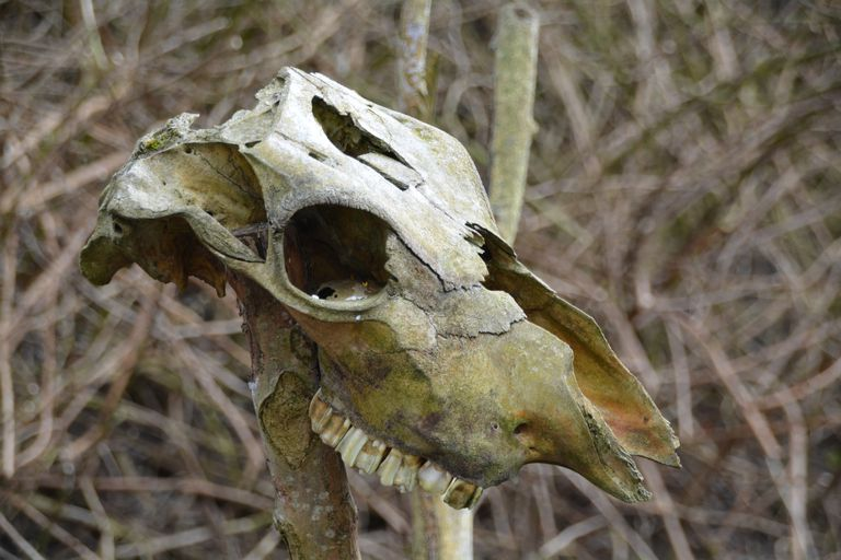 Close-Up Of Dead Animal Skull