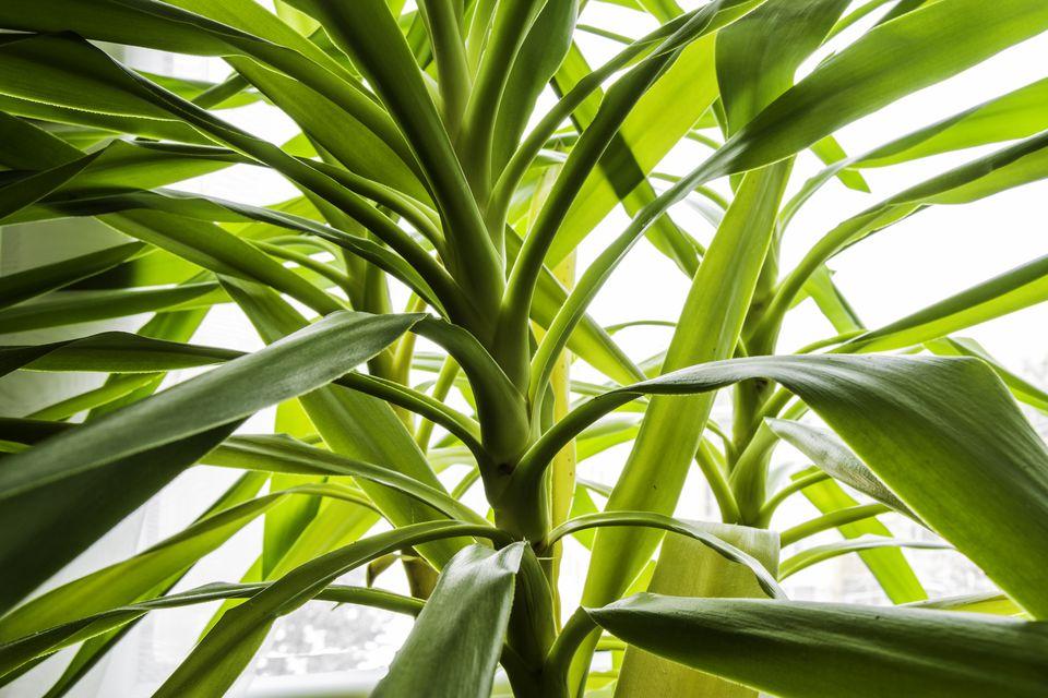 Yucca leaf