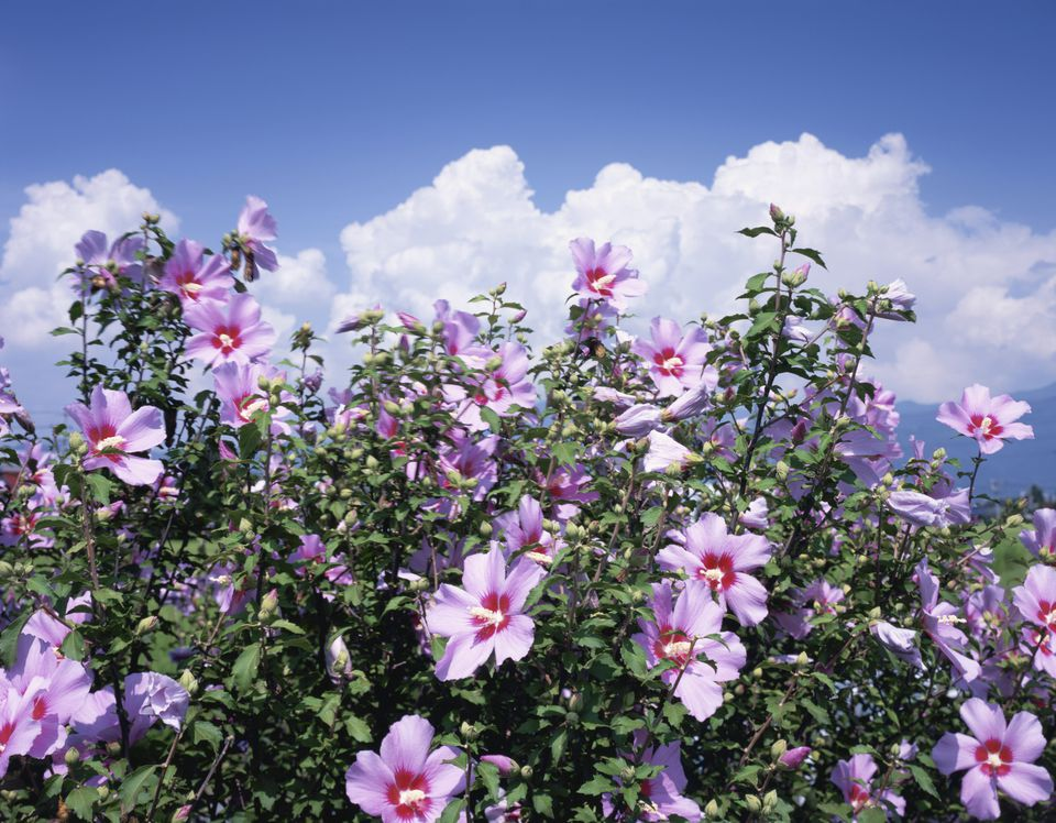 Rose of Sharon bush with pink-lavender flowers with red centers.