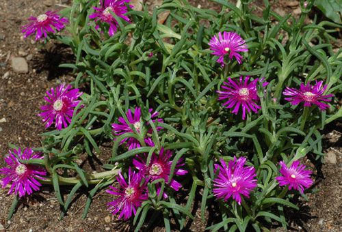 Ice plant picture. As the photo shows, ice plant has attractive flowers and interesting foliage.