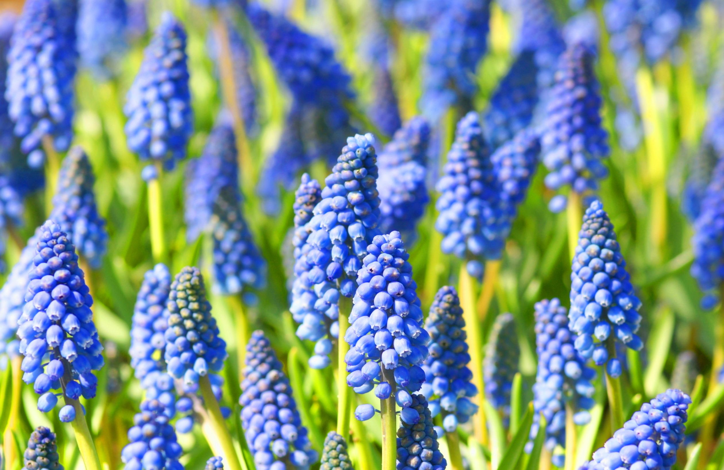 Grape Hyacinths Growing Muscari Bulbs