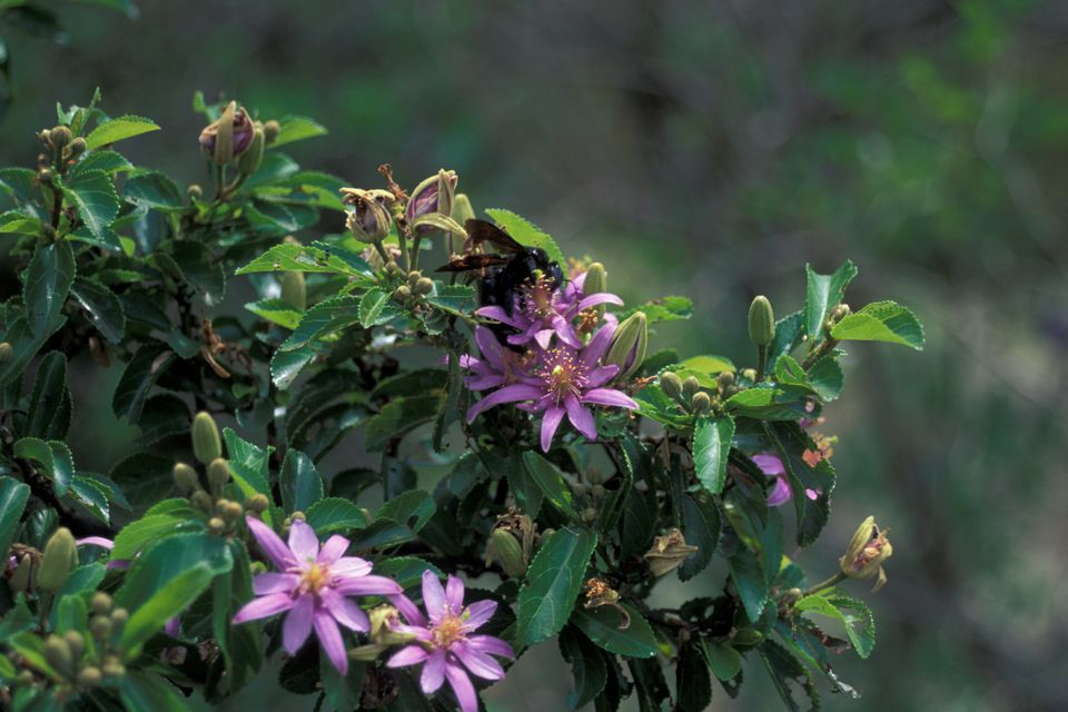 The lovely lavender star flower grows on a small tree