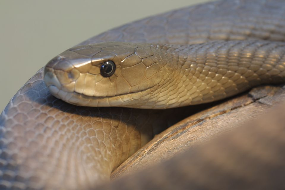 A Top Eight List of Africa's Most Dangerous Snakes