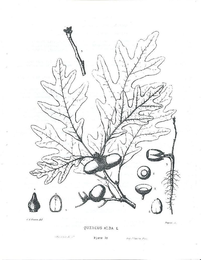 White Oak Illustration