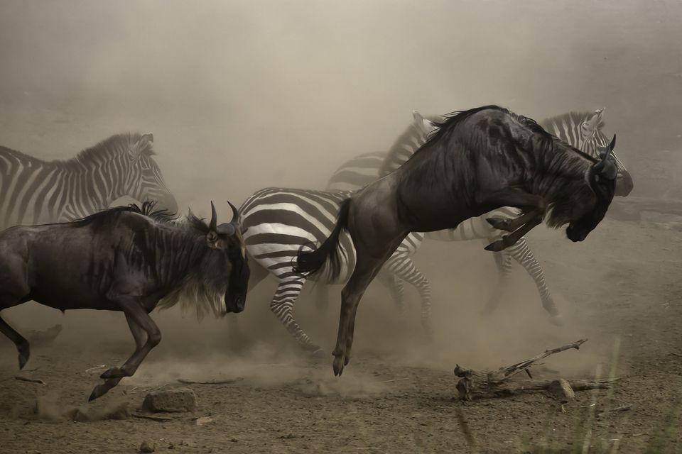 The Great Migration the Bond Between Wildebeest and Zebra