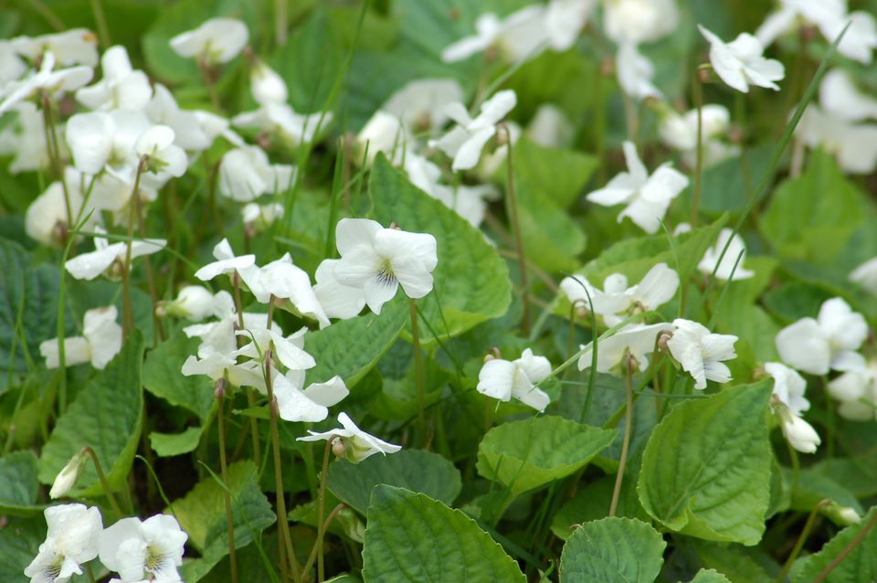 As my photo shows there are white wild violets, besides purple-blue and yellow.