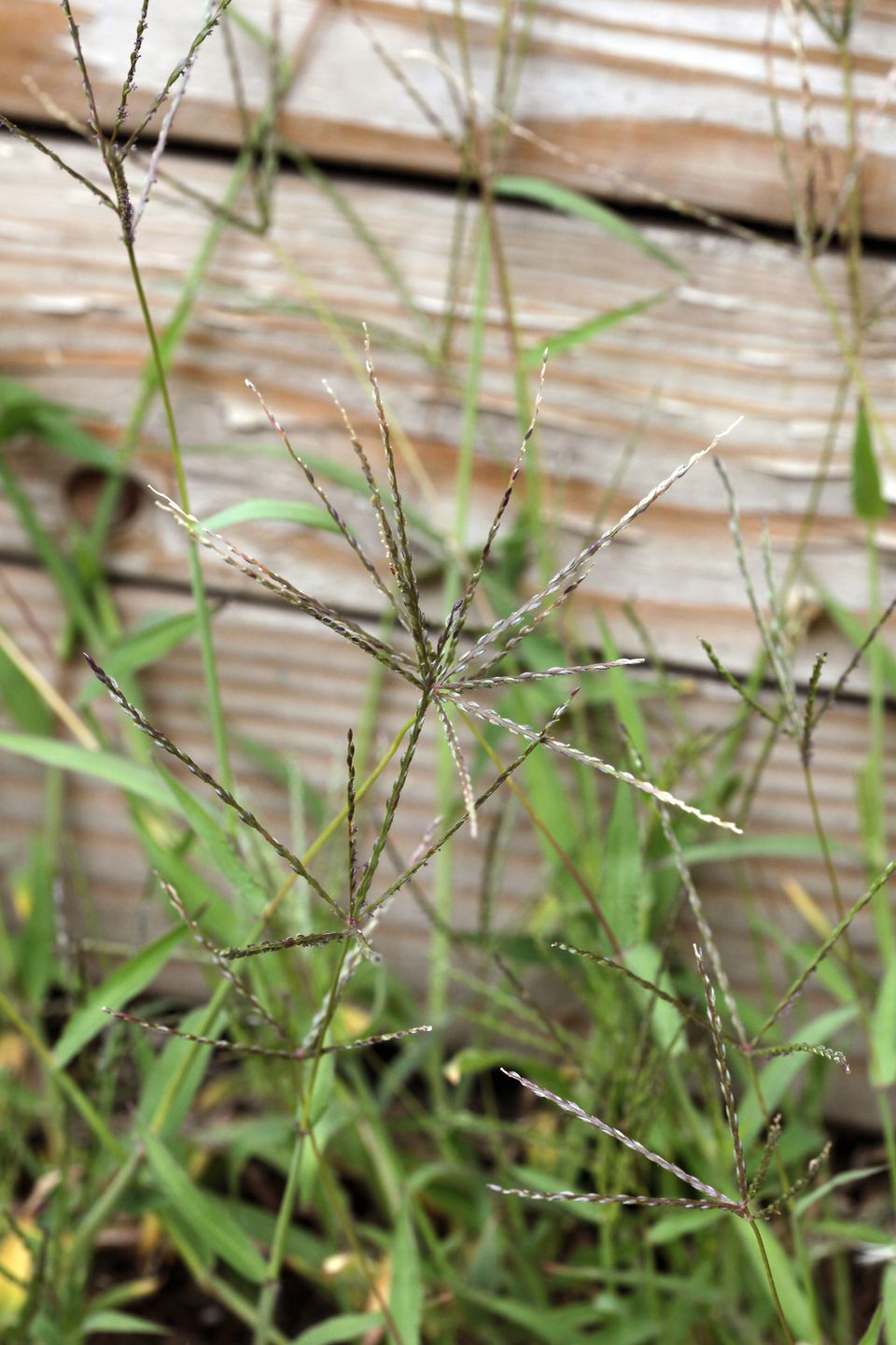 photo gallery of common types of weeds