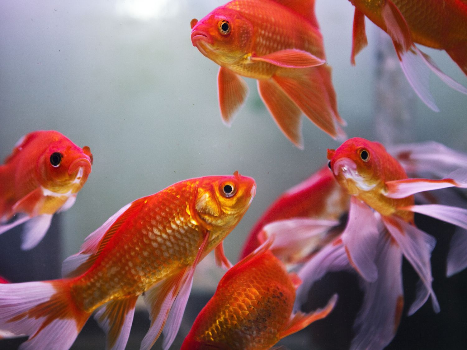 The symbology of fish feng shui how does an aquarium attract wealth biocorpaavc