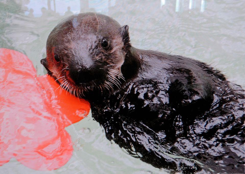 Sea Otter Ellie