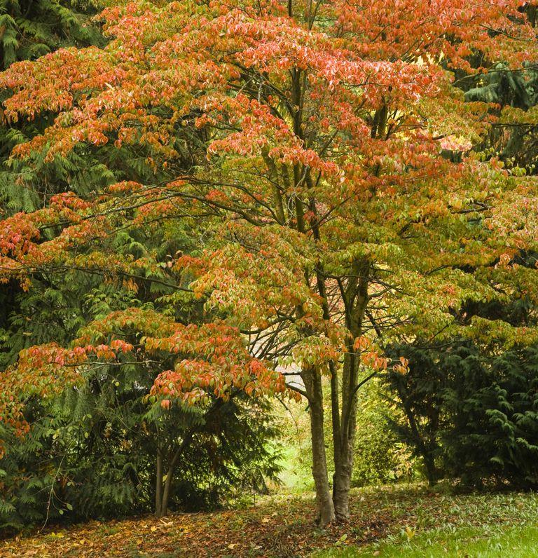 7 rboles que cambian el color de sus hojas for Arboles de jardin de hoja perenne