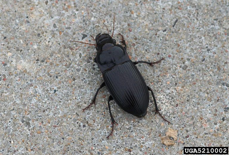 Murky ground beetle. 10 Biggest Beetle Families in North America