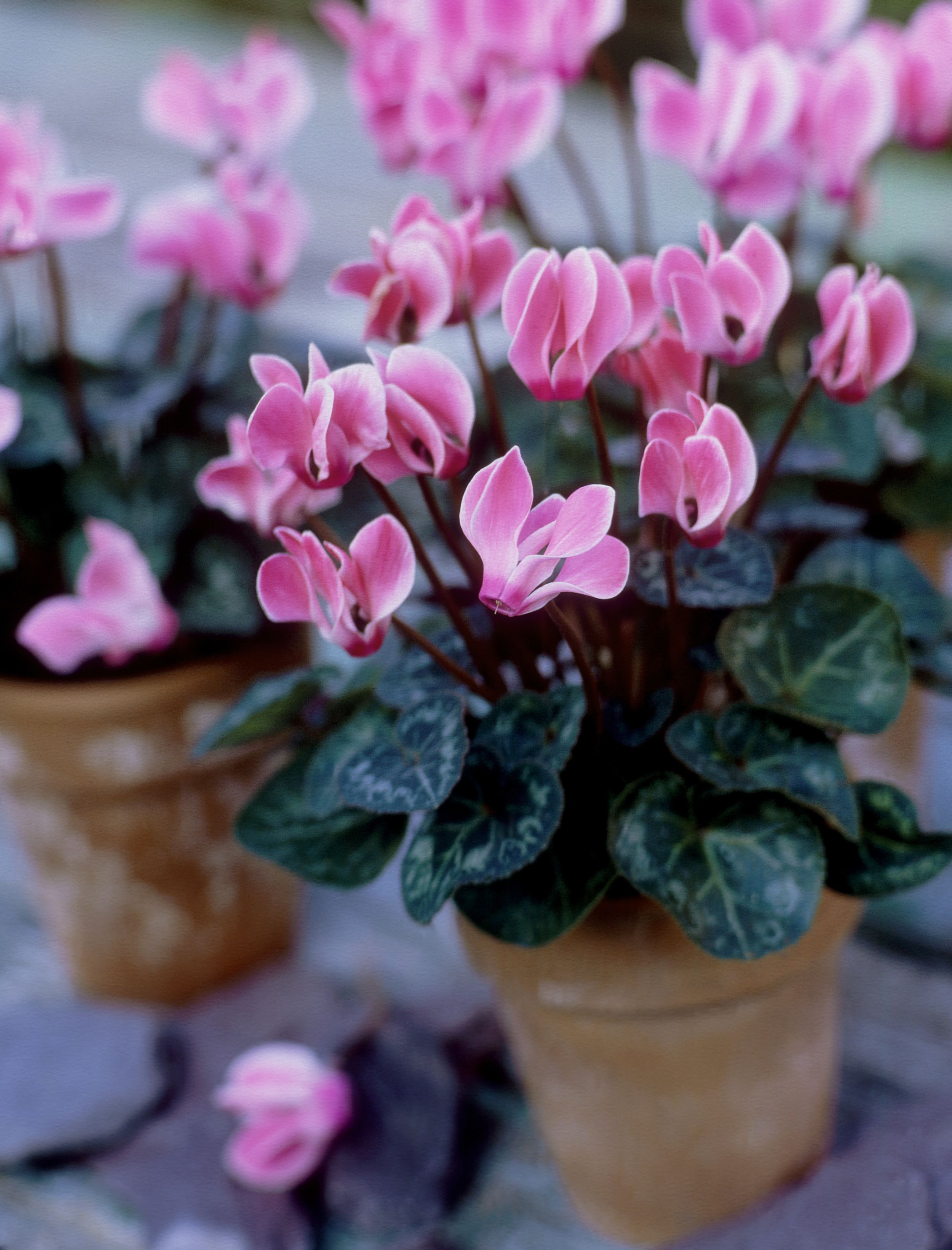 Miniature Cyclamen Growth And Care Tips