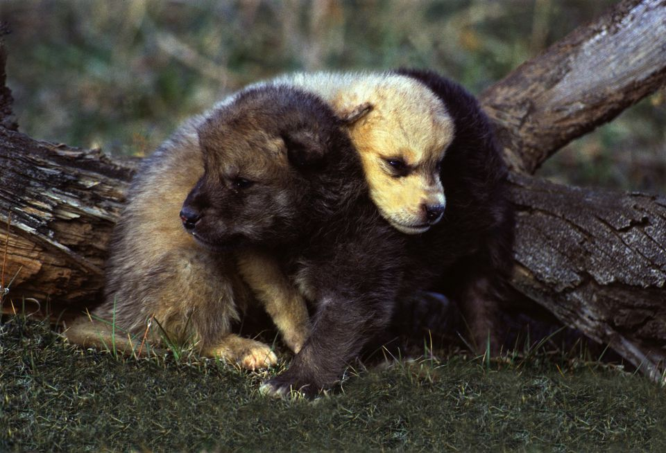 Young wolf pups