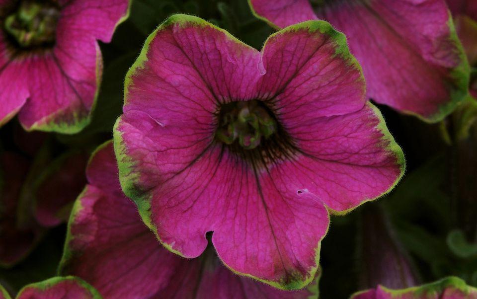 Limelight Petunia