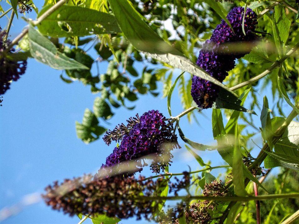 Best shrubs with purple flowers purple butterfly bush in bloom mightylinksfo