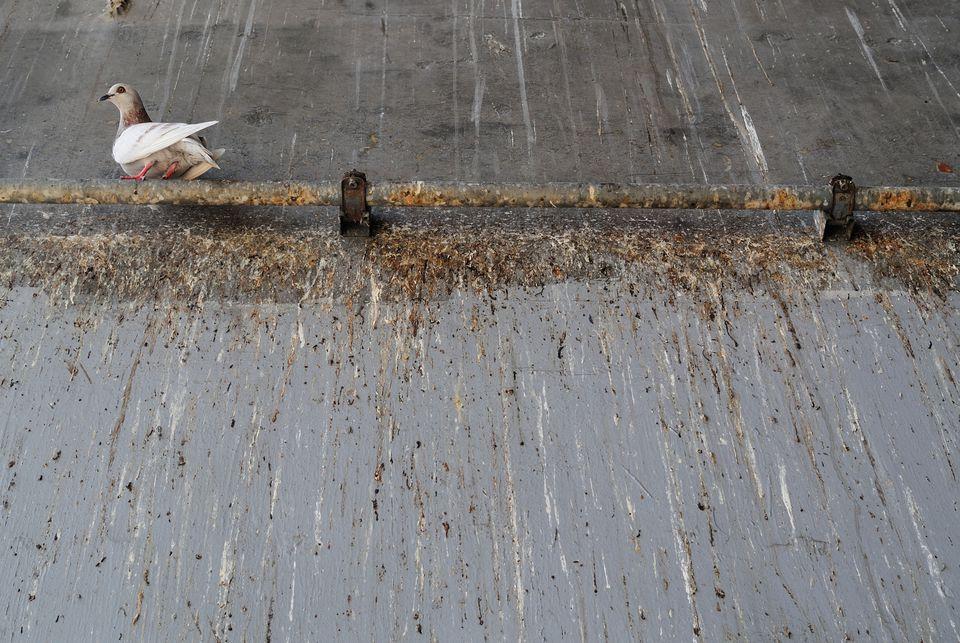 Bird on a Rusty Pipe