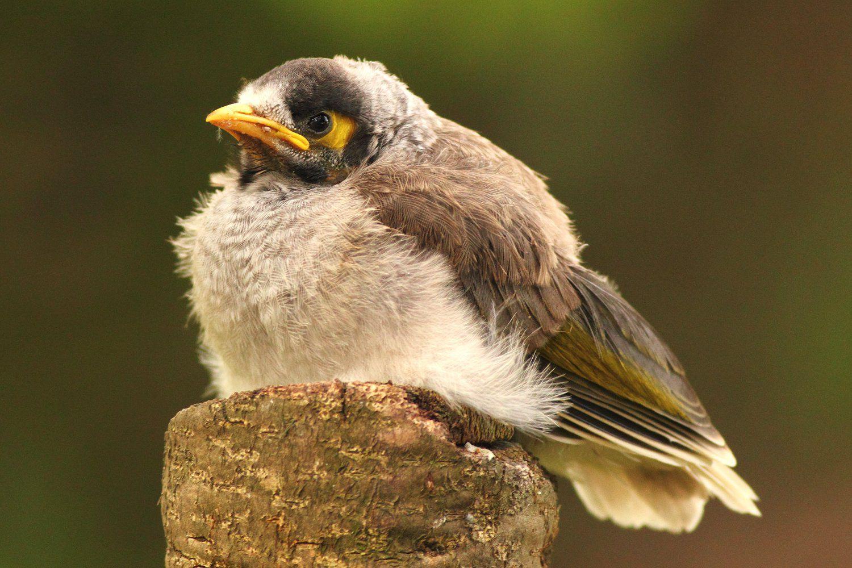 Fledgling Bird Definition Baby Birds