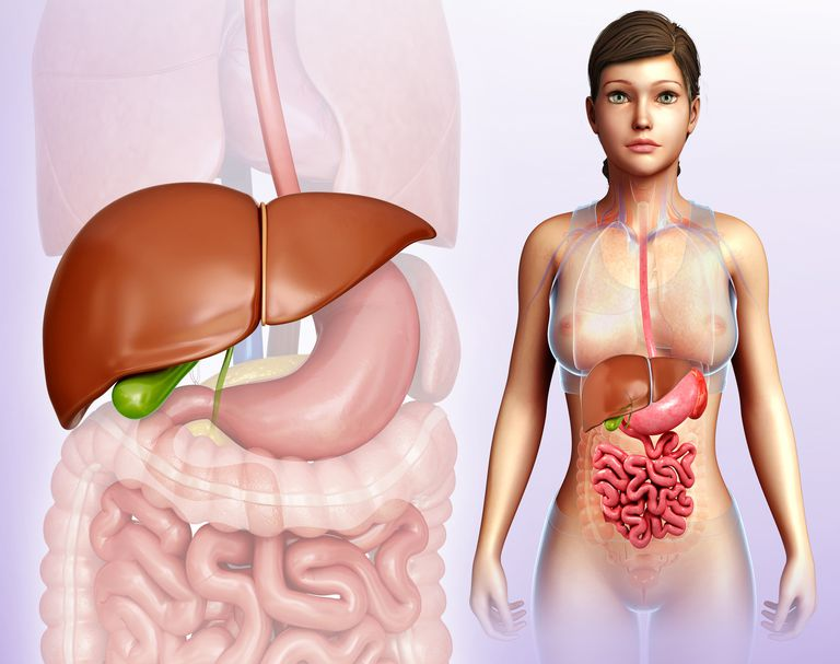 Illustration of the liver in relation to other abdominal organs
