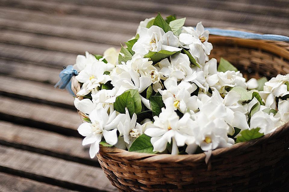 White jasmine flowers in wicker basket.