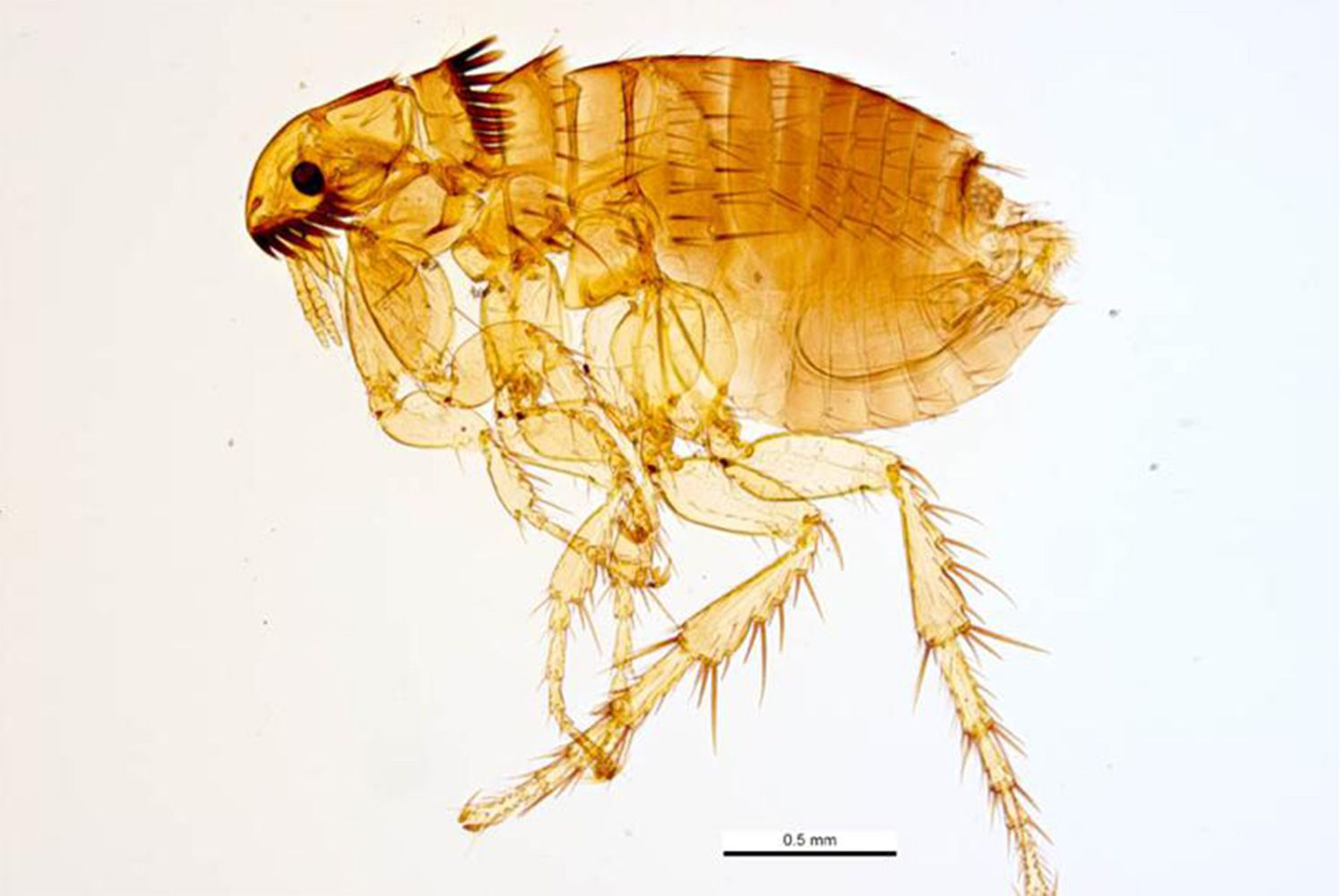 3 steps to get rid of fleas in your home