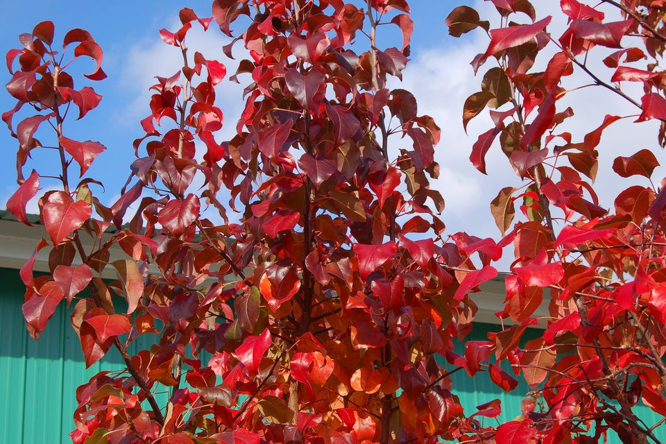 Pyrus-calleryana-Autumn-Blaze-fall-big.jpg