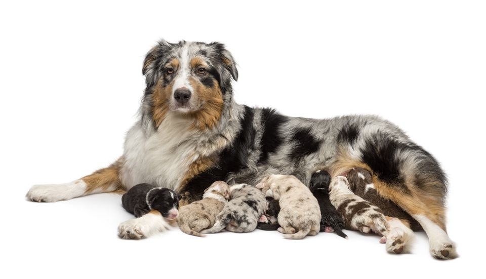 australian shepherd mother dog and nursing puppies