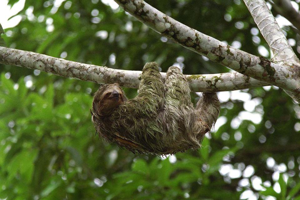 Three Toed Sloth Climbs in Costa Rica