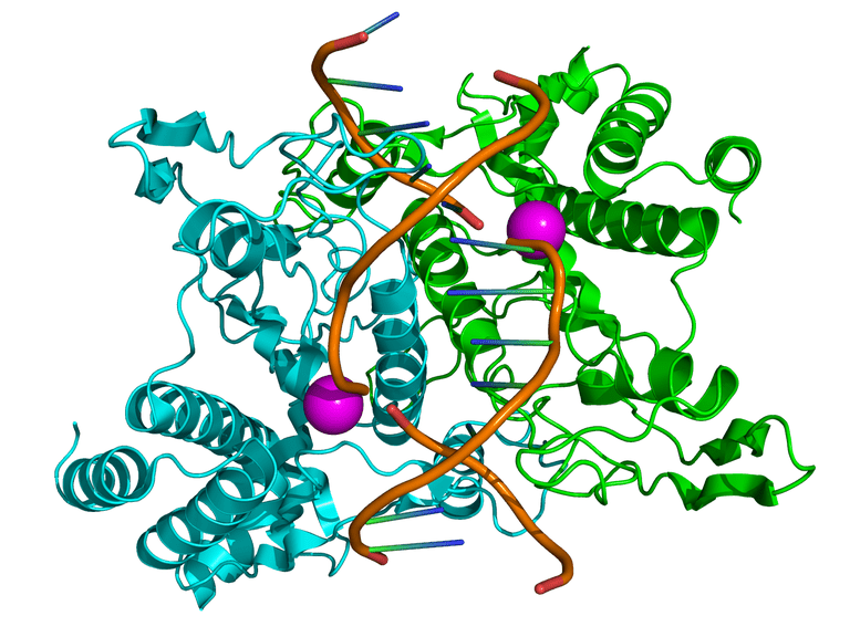 Structure of the homodimeric restriction enzyme EcoRI (cyan and green cartoon diagram) bound to double stranded DNA (brown tubes).