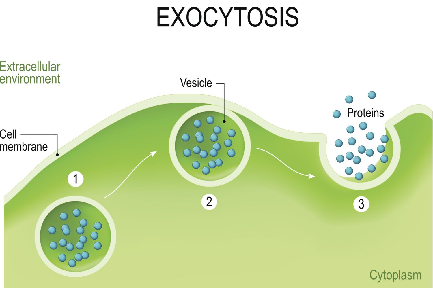 A Definition Of Exocytosis With Steps And Examples