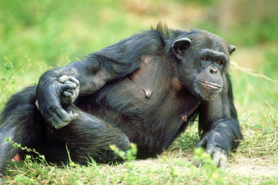 Chimpanzee: pan troglodytes relaxing miami metro zoo, flor ida
