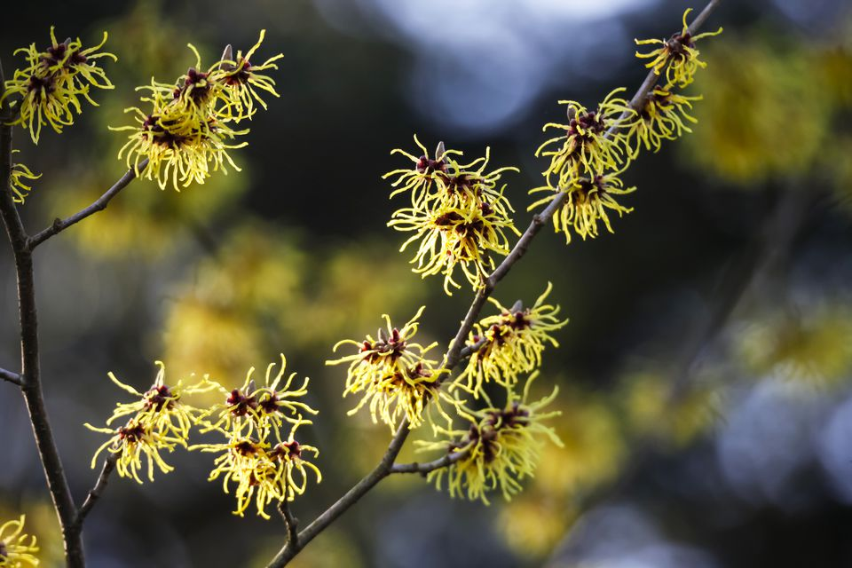 Branches of witch hazel shrub in bloom.