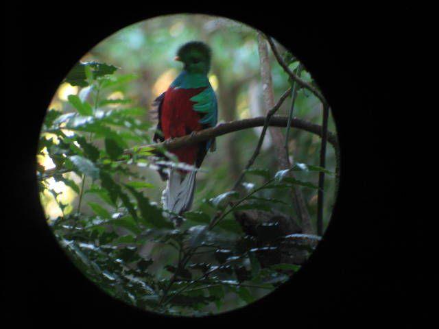 Resplendent Quetzals in Costa Rica