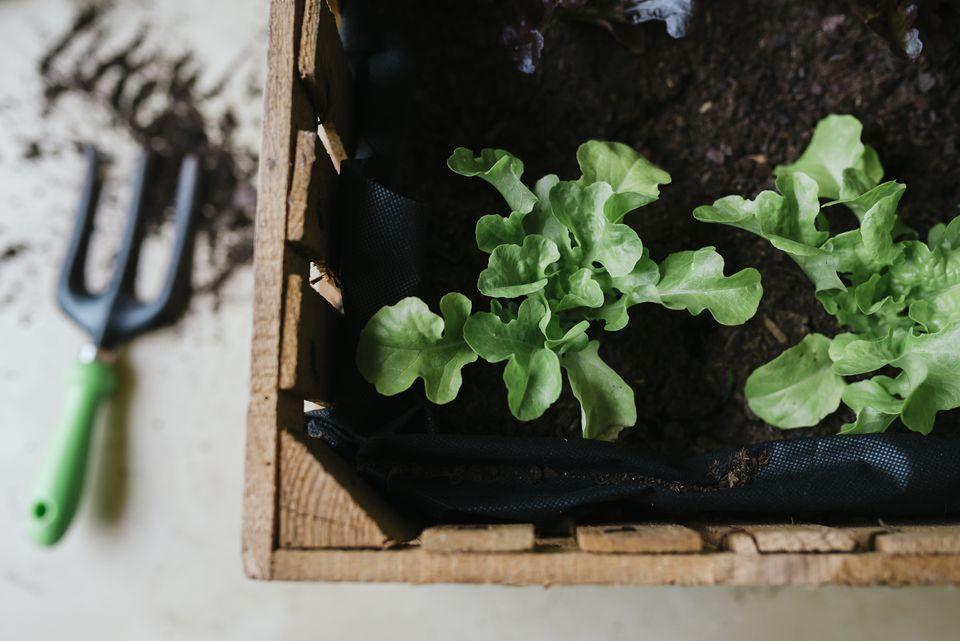 Growing lettuce in wooden box
