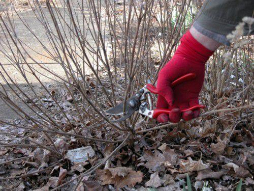 Pruning Woody Perennials in the Spring Garden