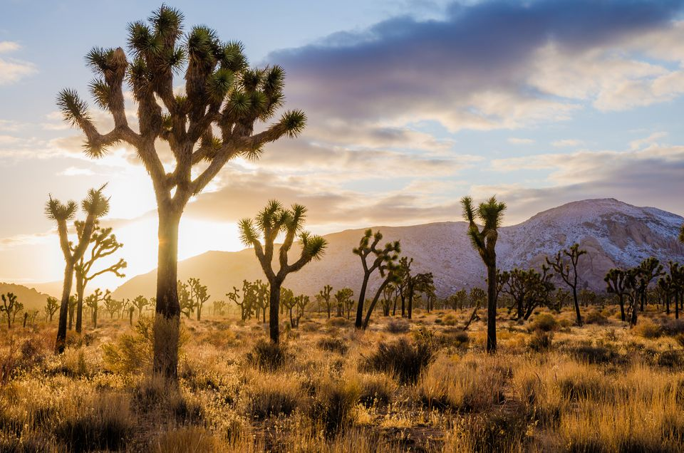 joshua tree middle eastern singles Information regarding the joshua tree, yucca brevifolia  it is generally single-stemmed, but plants with two or three stems  unbranched middle-aged plants are.