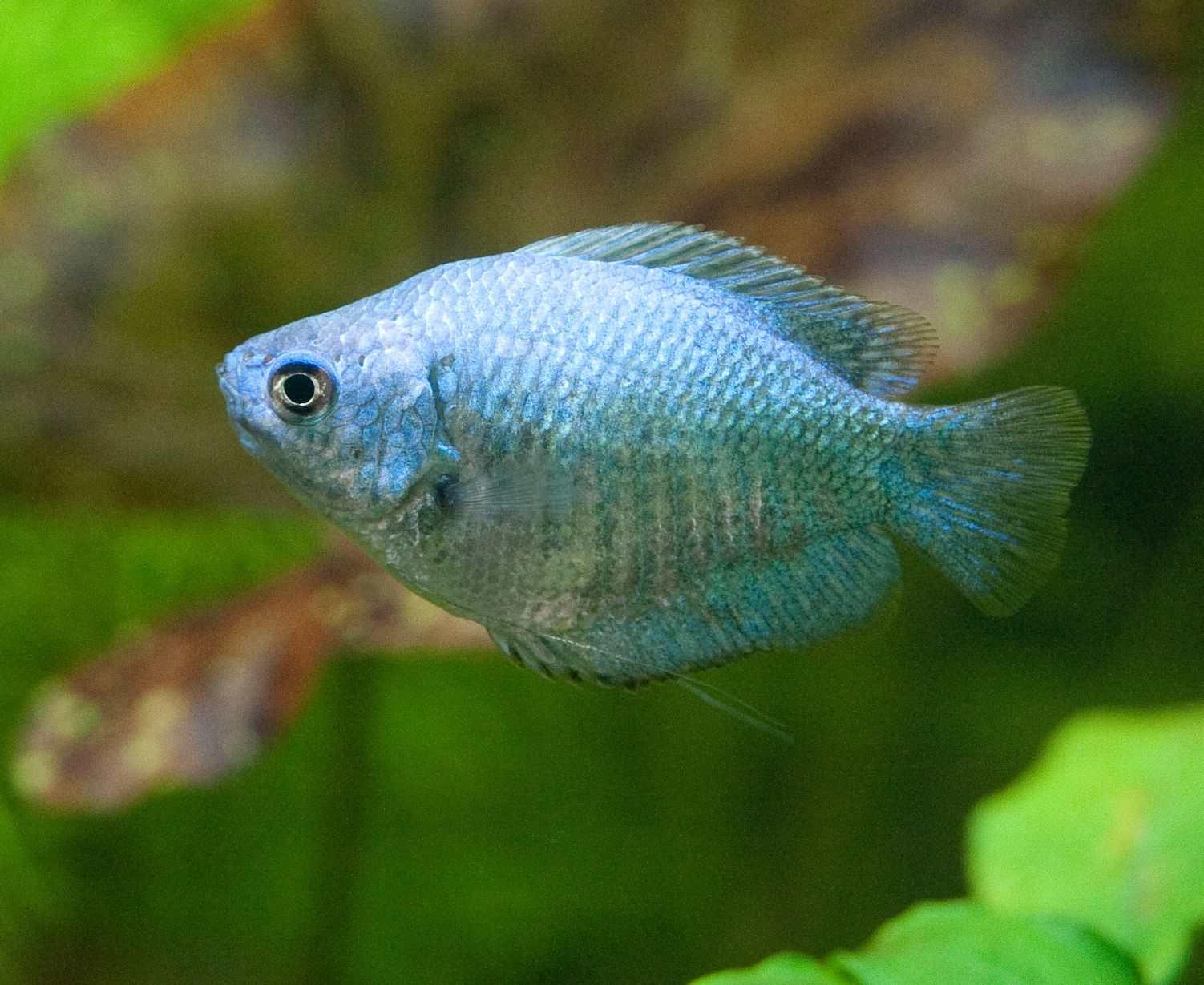 Different Species of Gourami Fish